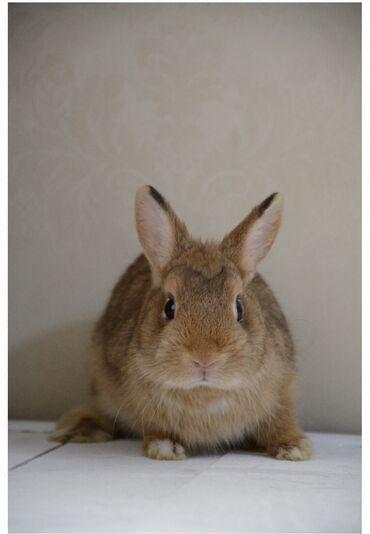 526 объявлений: Продается породистый карликовый кролик Порода: цветной карликДата