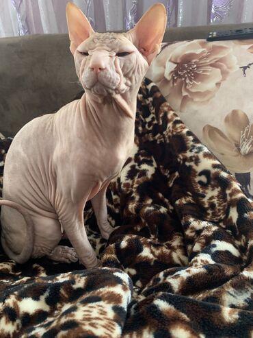 Вязка!!!Донской сфинкс кремовый резинка чистокровный кот ! Ищет