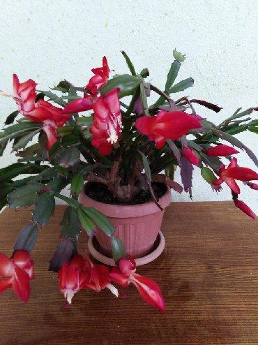 Комнатные растения в Кок-Ой: Продаю. 350сом зацвел второй раз, первый раз цвел в ноябре, детки 50со
