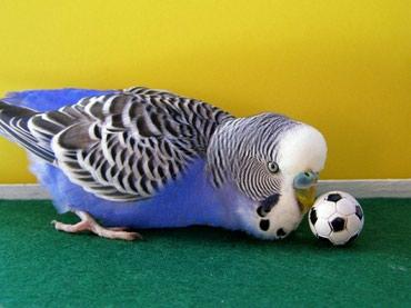Красавчики попугайчики не дорого есть корма и клетки в Бишкек