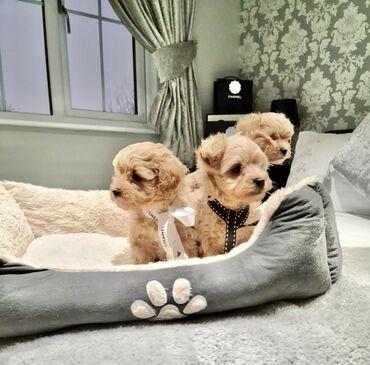 Πώληση σκυλιά και κουτάβια από τη Μάλτα Ένα κουτάβι KC καταγράφηκε για