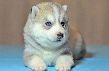 Срочно продаю щенка : Сибирская ХаскиРодилась: 09.04.21годаПол