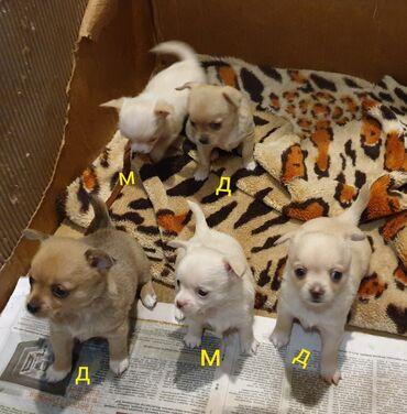 Чихуахуа. 2-беленьких маленьких мальчика,3-девочки,одна белая и две