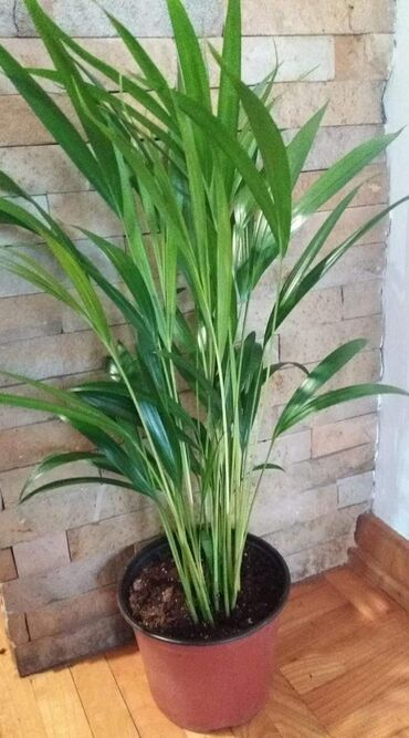 Zenska torbica sirine cm visine cm - Srbija: Areca palma visine 60 cm