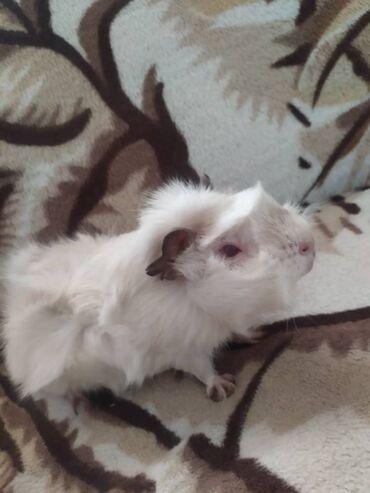 Морские свинки - Кыргызстан: Продаю морскую свинку срочно добрую девочку