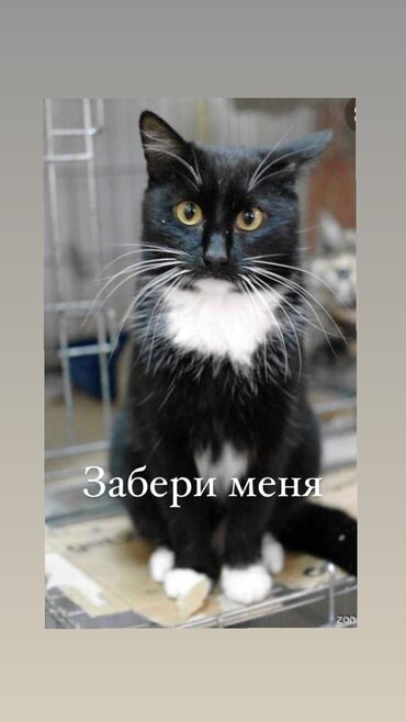 британский короткошерстный котенок в Кыргызстан: В добрый руки !!! Котёнок где-то 4-5 месяца очень дружелюбный