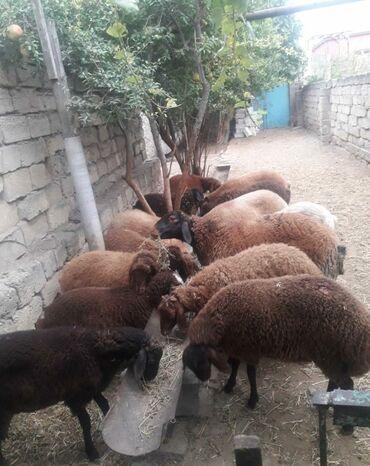 quzular - Azərbaycan: Quzular. Saglam damazliq erkek ve diwi Qala cinsi quzular. 3-6 ayliq