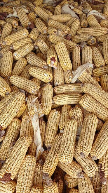 Животные - Студенческое: Продаю кукурузу в пачатках сорт майами! Цена 23