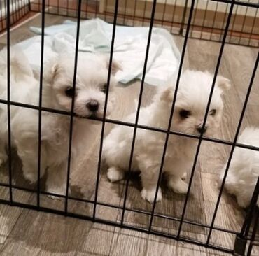 Maltese puppies available for rehoming both genders available
