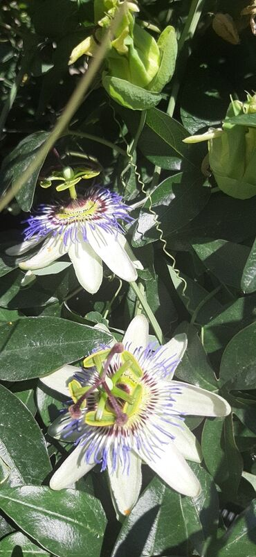 Ploce - Srbija: Pasiflora koja ne mrzne.Cveta celo leto i idealan ukras svake baste i