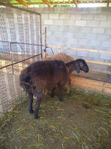 Животные - Бает: 6 айлык козу кочкорлор сатылат 16 минден