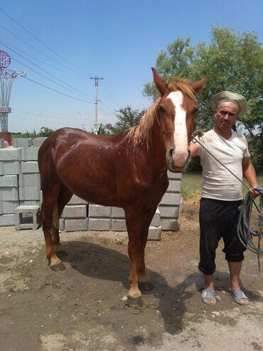 С/х животные - Кара-Суу: Лошади, кони