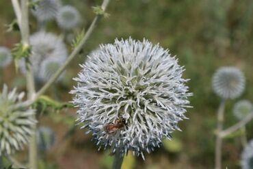 бу резина 2055516 в Кыргызстан: Семена мордовника. Уважаемые пчеловоды! Я посеел эти семена весной