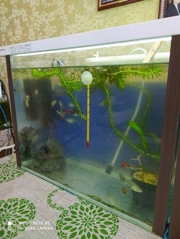 pirani baliqlari - Azərbaycan: Aquavarium satilir. 20-litirlik aquavatium. Icinde 30 eded Guppi