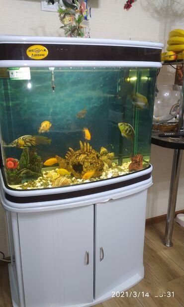 Аквариумы - Кыргызстан: Продаю аквариум 162литра с рыбками и с со всеми принадлежностями