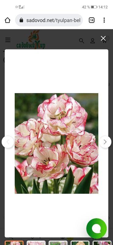 махровые халаты бишкек in Кыргызстан | ПЛАТЬЯ: Продаю луковицы тюльпанов и нарцисов (триумф, махровые, лилиецветные