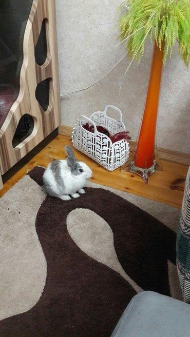 Bakı şəhərində balaca Salyami dovşanı satıram 1 aylıqdır dermanında vermişik sağlam