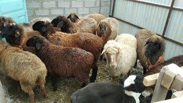 С/х животные - Кыргызстан: Семиз Кой, Козлар!Баардык кызматтары менен! Жеткизүү да