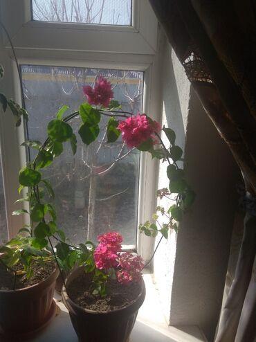 Комнатные растения - Сокулук: Продаю бугенвилию