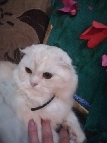 Животные - Кок-Ой: Котик Скотишь Халдер Фолд 1,5 года. Услуги кошечкам, тоже оказывает