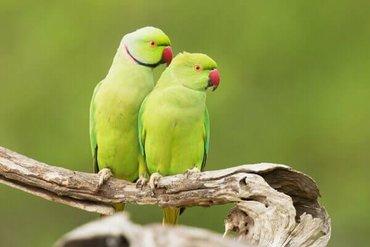 Ожереловые попугаиОдин из самых умных попугаев!Легок в обучении
