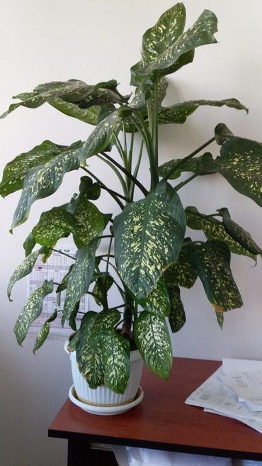 Комнатное растение для офиса в Sumqayıt