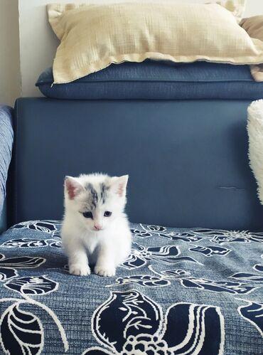 Продаю Шотландского котенка.2 месяца(девочка).К лотку