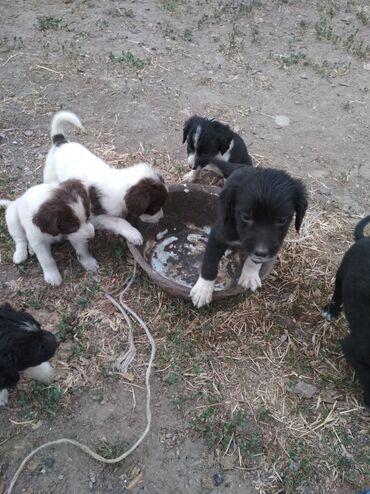 Животные - Кунтуу: Продаю Спаниель щенки2-месяца Мать,чистый Отец Дратхар,полу оба