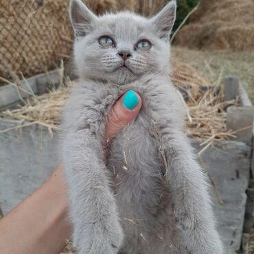 Личные вещи - Токмок: Продаются шотландская котёнка к лотку приучены кушают самостоятельно