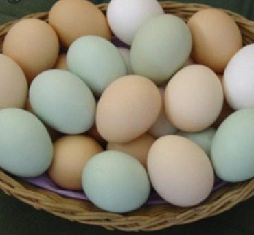 Bakı şəhərində Gold Brama yumurtalari 5.6kl et verir