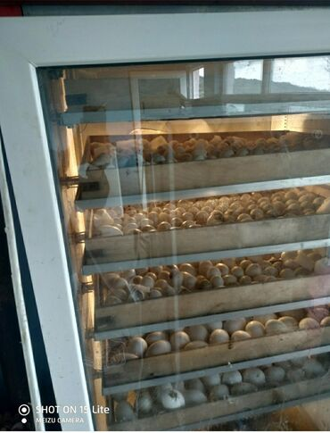 3 ededi inqvator satilir 1400 kimi yumurta tutan var hec bir