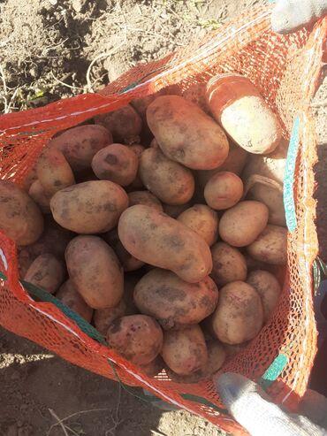 44 объявлений | ЖИВОТНЫЕ: Продаю семенную картошку сорта Пикассо 2021 года в наличии 2 тонн . Се