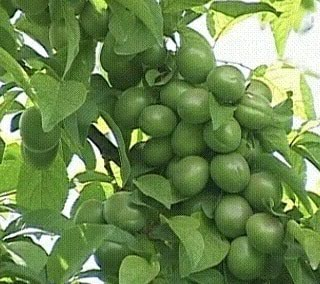 Bakı şəhərində Göycə tingi ( Naxçıvan)