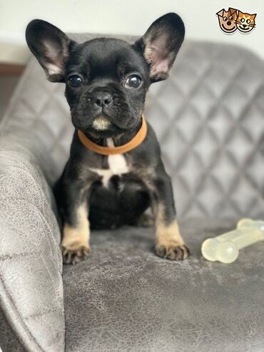 We are happy to introduce 5 healthy micro Frenchie Mum is blue tan