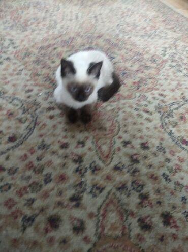 Сиамский котенок срочно и недорого. Возможна и скидка