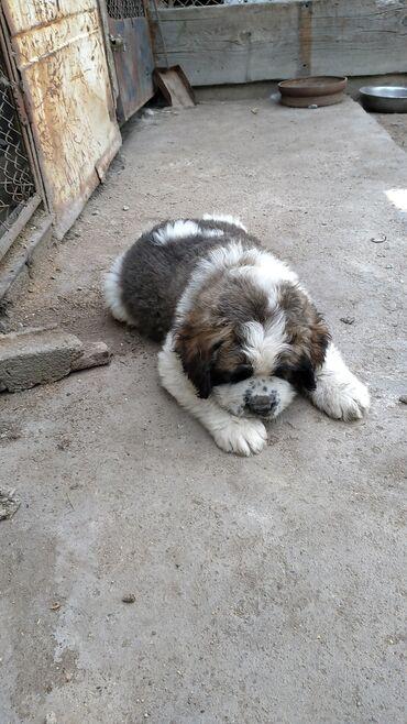 Животные - Балыкчы: Продается щенок Московской сторожевой собаки, 2,5 месяца. Умный, милый