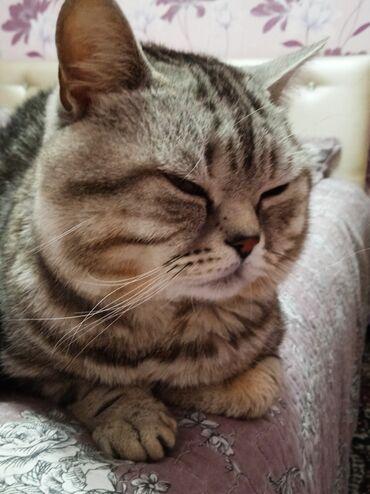 Коты - Кыргызстан: Шикарный котик шотландской породы!Мраморный окрас!11 месяцев,не