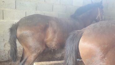 Животные - Бишкек: Лошади, кони