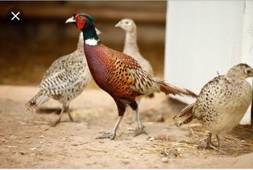Продаю яйца фазана охотничий можно на заказ в Кант