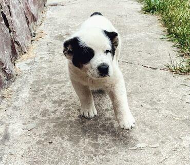 Продаётся щенок Алабай 1.5 месяца  Документы есть, своевременно купиро
