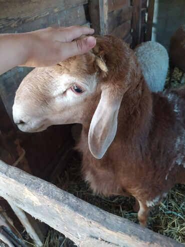 Животные - Кок-Джар: Продаю | Баран (самец) | Гиссарская, Полукровка | На забой, Для разведения | Осеменитель
