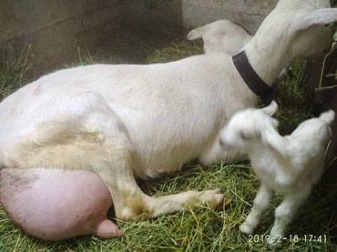 Продаю МОЛОЧНЫХ ДОЙНЫХ коз любая на выбор! Забыли вкус настоящего