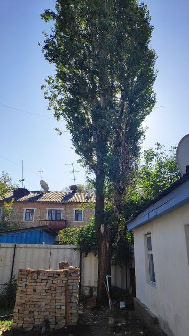 Ремонт и строительство - Кара-Балта: Продам тополь на корню, в районе Оторбаева. Все вопросы по телефону
