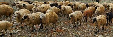 Овца (самка), Баран (самец)   Романовская, Гала, Другая порода   Беременная