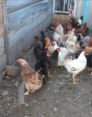куры-домашние-цена в Кыргызстан: Цыплята отборных домашних кур