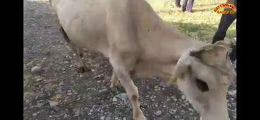 Животные - Массы: Куплю   Коровы, быки   Самовывоз