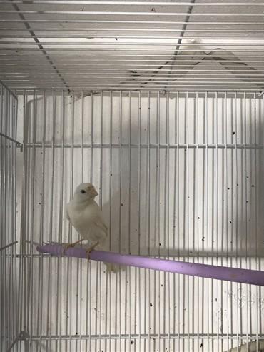 bülbül - Azərbaycan: Bulbul kanareyka