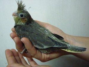 Продаю птенцов попугаев корелл из в Бишкек