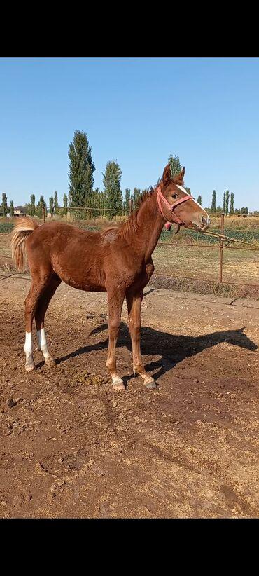 164 объявлений   ЖИВОТНЫЕ: Продаю   Конь (самец), Жеребенок   Для разведения, Конный спорт   Племенные