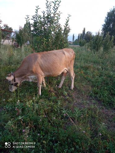 Животные - Заря: Продаю | Корова (самка) | После отела